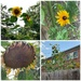 Sunflowers, Young and Old