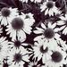 Echinacea  by ljmanning