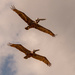 Pelican Fly By! by rickster549