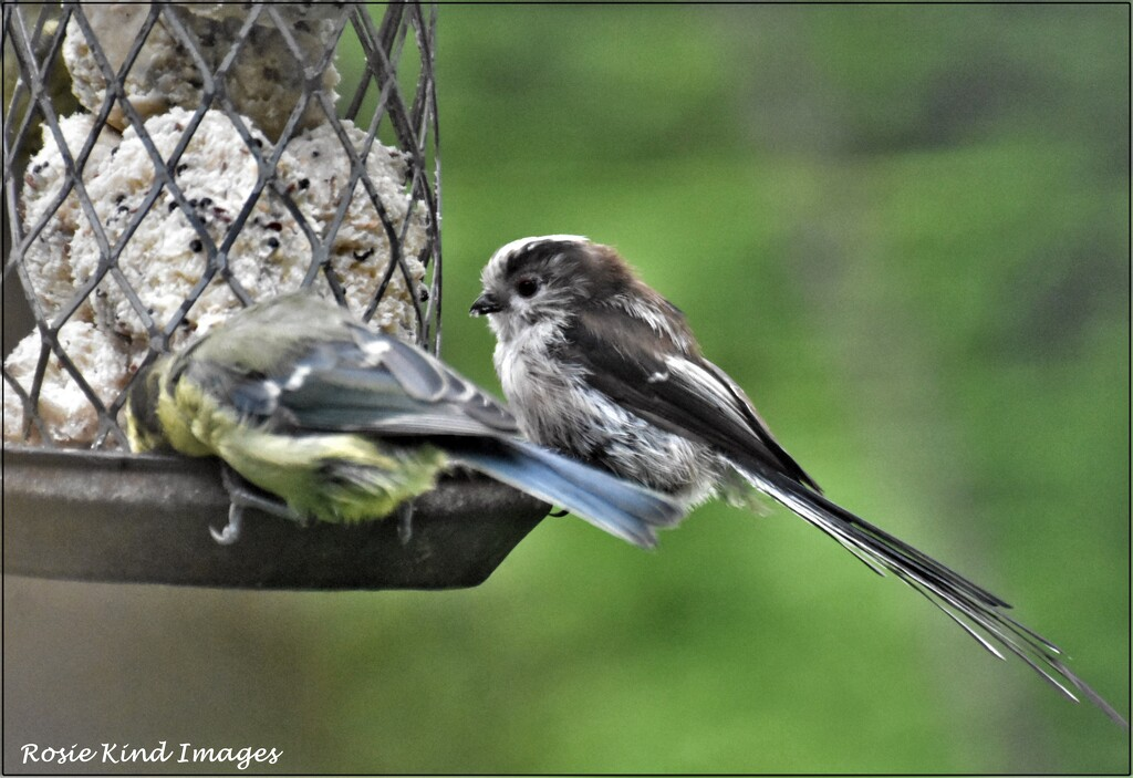 Rather scruffy little long tailed tit by rosiekind