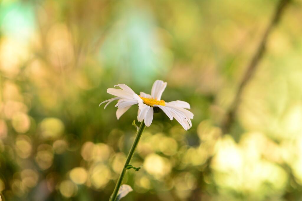 large white daisy........ by ziggy77