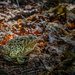 The Bullfrog in the Woods