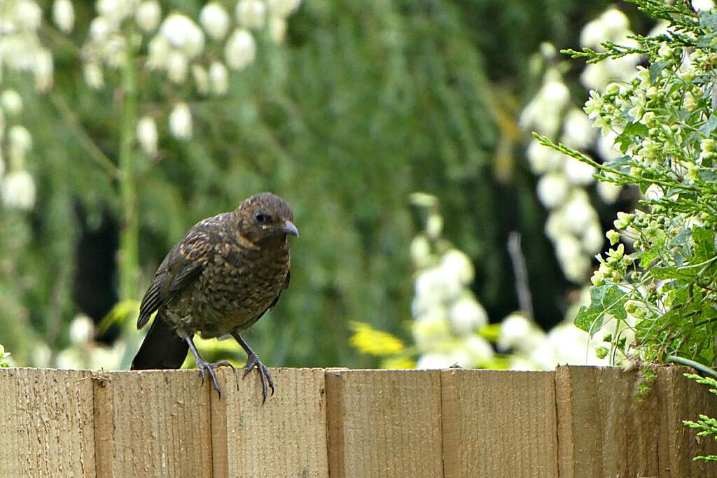 Baby Blackbird . by wendyfrost