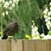 Baby Blackbird .