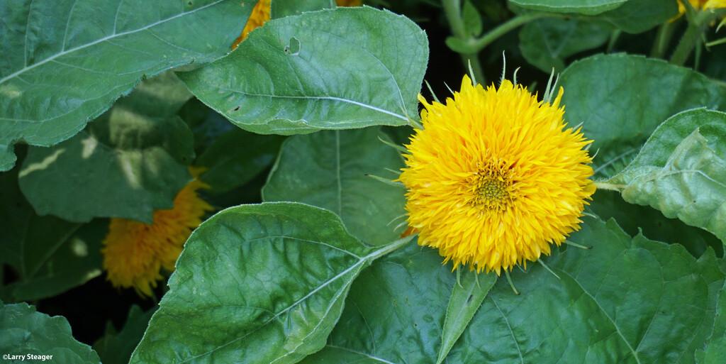 Mellow yellow by larrysphotos