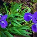More Iris .. A Fourth Flowering ~