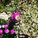 Mixed flowers in a Dianthus flower field border.
