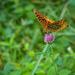 Summertime Butterflies