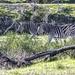 Zebra at Villeira