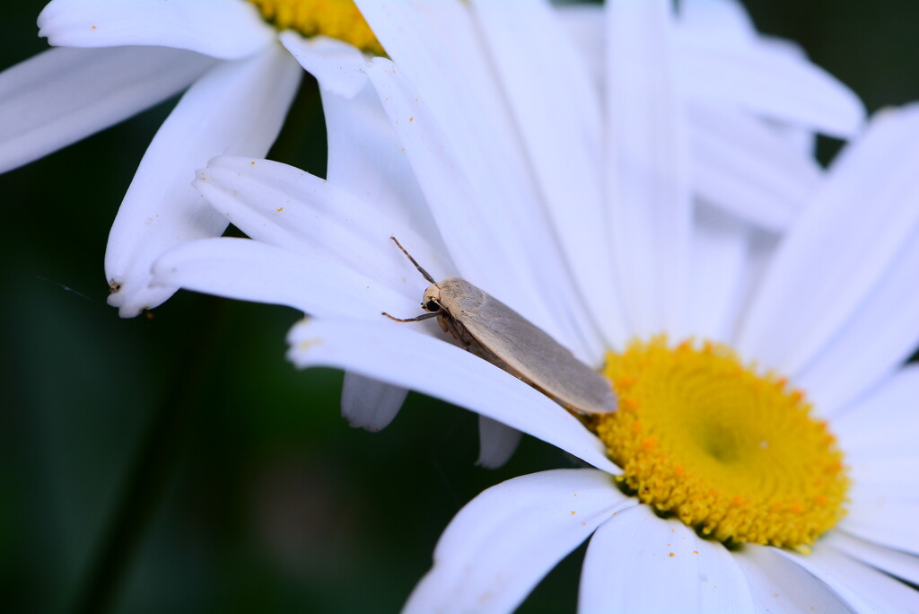 Daisies and moth...... by ziggy77
