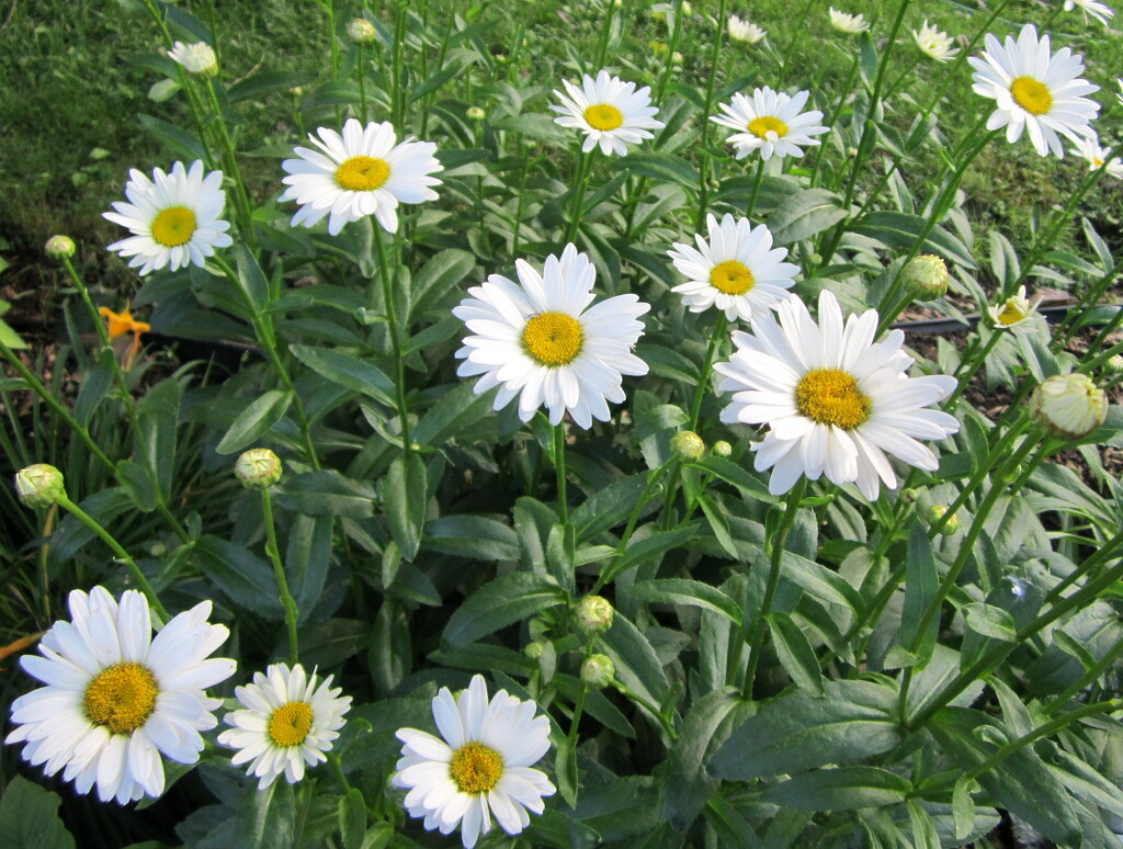 Daisies look so lovely in the garden by bruni