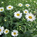 Daisies look so lovely in the garden