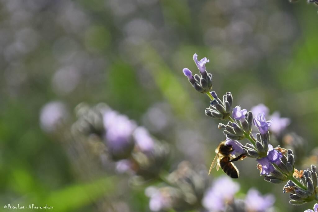 honey bee in lavender by parisouailleurs