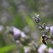 honey bee in lavender