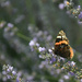Vulcain butterfly