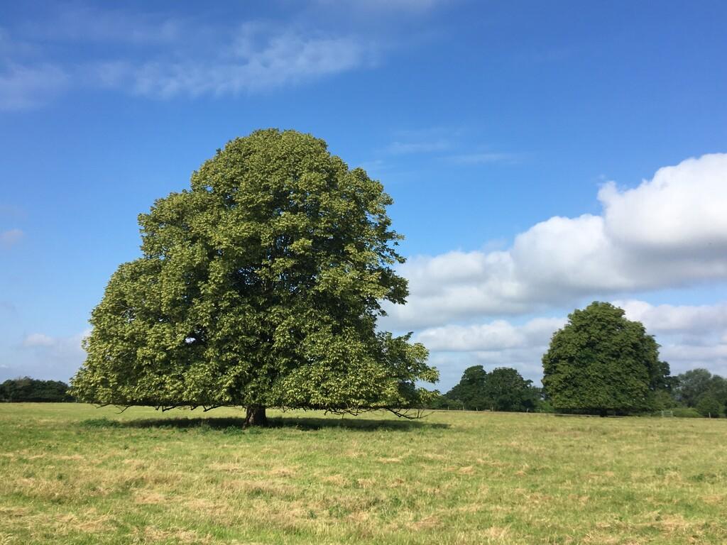Suffolk Oak by helenmoss