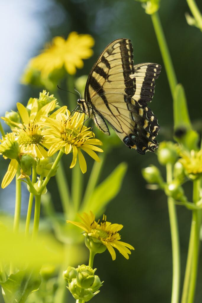 Tiger Swallowtail by kvphoto