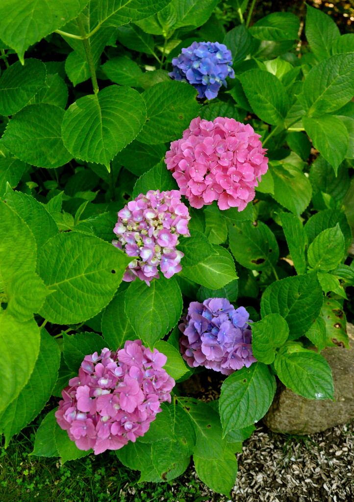 One bush.....4 different colored blooms.... by sailingmusic