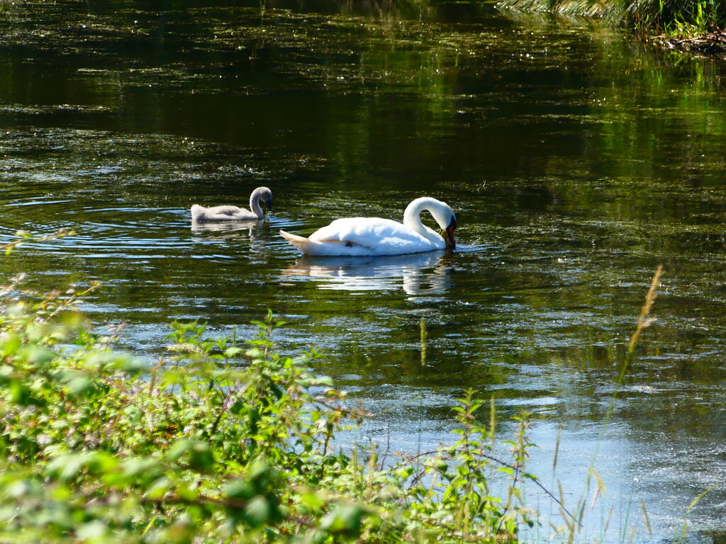 Relaxing Swans by snoopybooboo