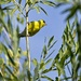 American Goldfinch by mitchell304