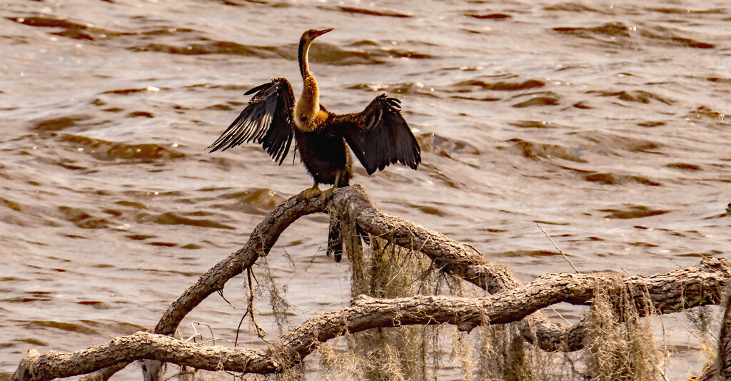 The Anhinga Drying It's Wings!  by rickster549