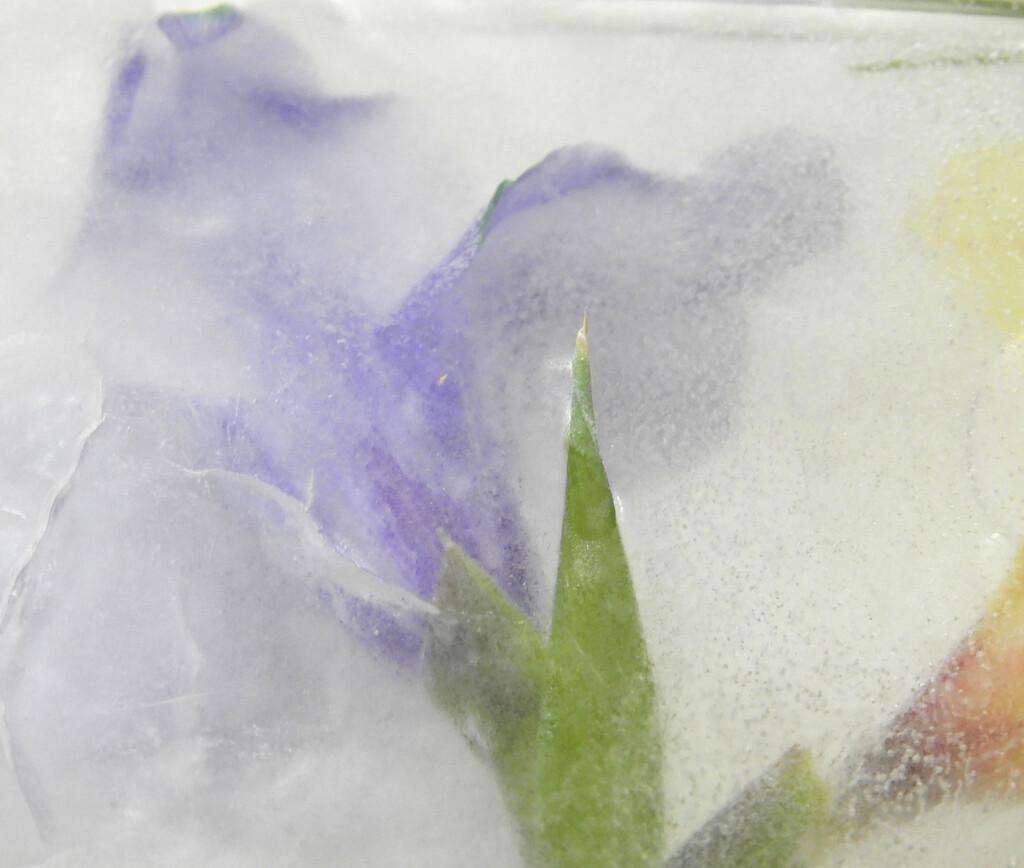 Iced Gladiola by homeschoolmom
