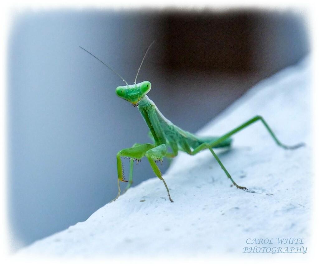 Preying Mantis by carolmw