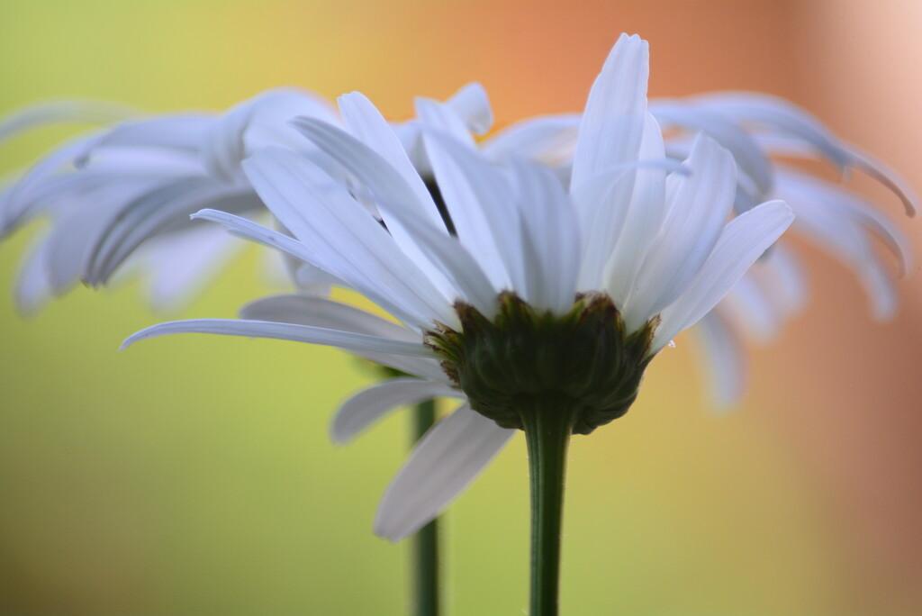 Daisy Divas.......... by ziggy77