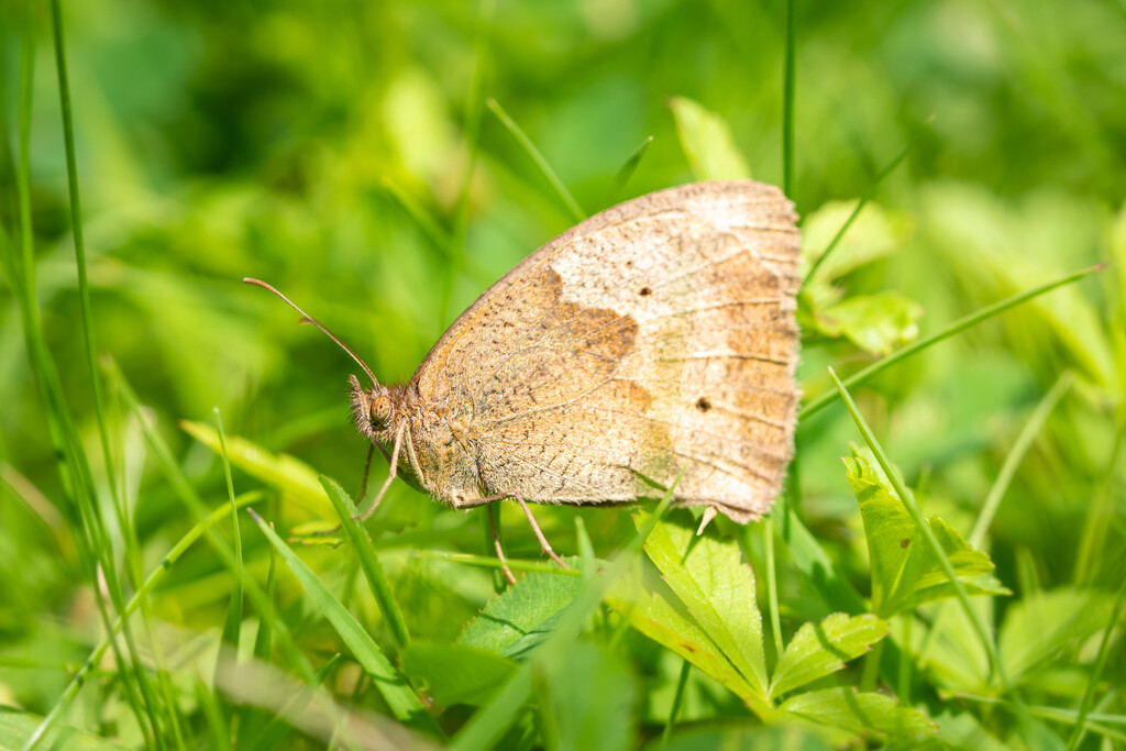 Gatekeeper in the Grass by humphreyhippo
