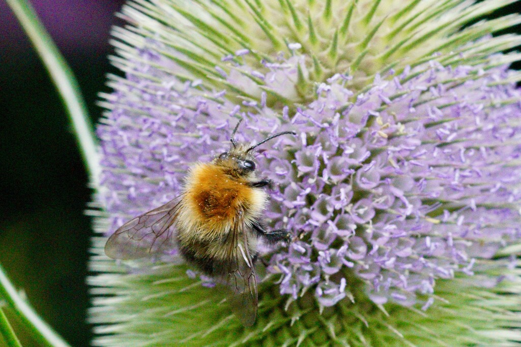 BEE AND TEASEL by markp