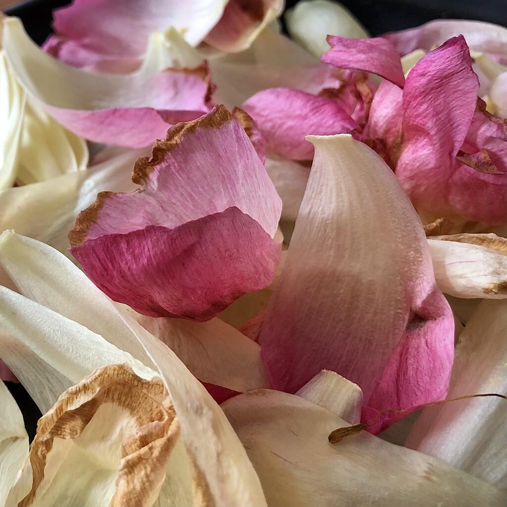 Petals by jacqbb