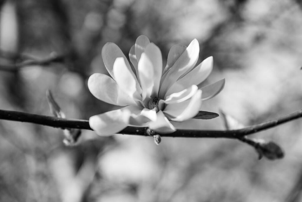 Magnolia  by brigette