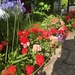 Geraniums with agapanthus - looking hot! by snowy