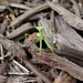 Mantis in the Mulch