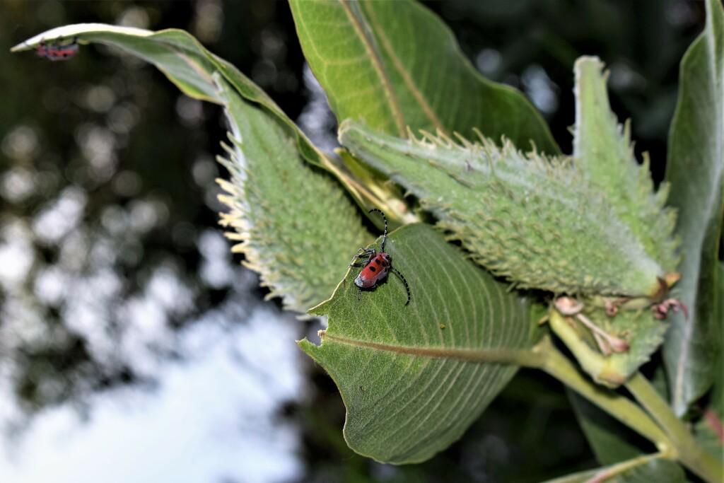 Red Milkweed Beetle  by sandlily