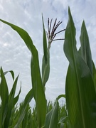 27th Jul 2021 - A maize ing
