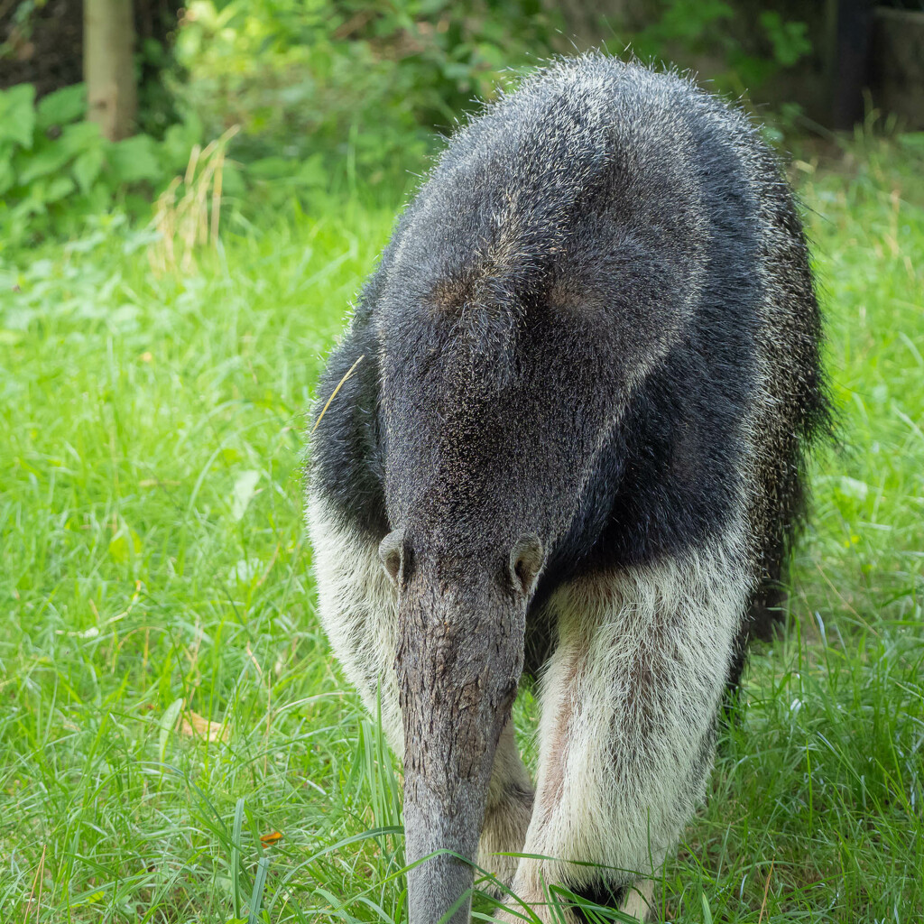 The giant anteater by haskar