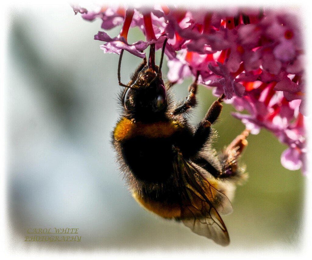 Bee And Buddleia (uncropped) by carolmw