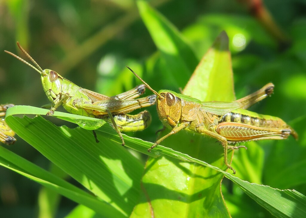 Double grasshoppers by mariadarby