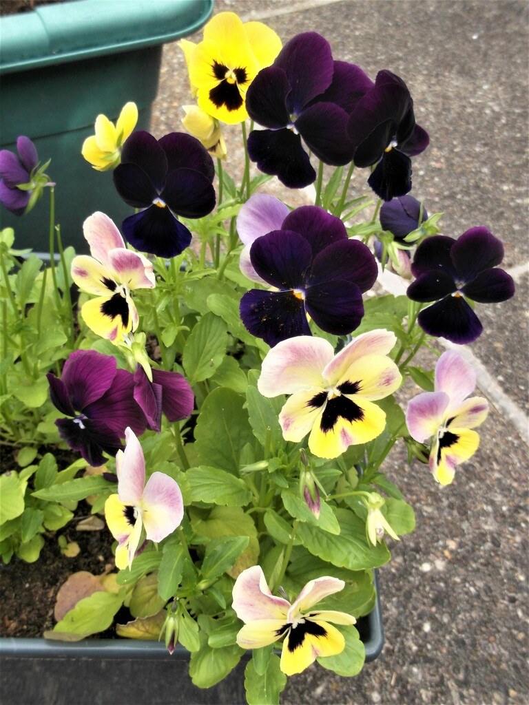 So pleased with these Pansies... by boatman137