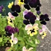 So pleased with these Pansies...