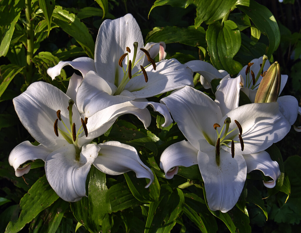 Large Lilies. by tonygig
