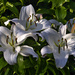 Large Lilies.