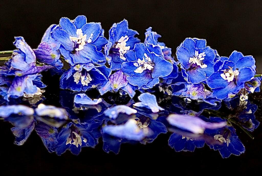Delphinium Blue by carole_sandford
