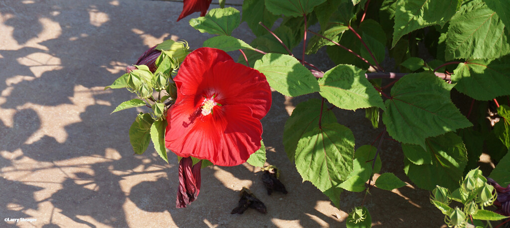Red Hibiscus by larrysphotos