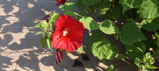 27th Jul 2021 - Red Hibiscus