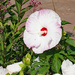 White giant hibiscus