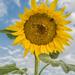 You are my sunshine by sschertenleib