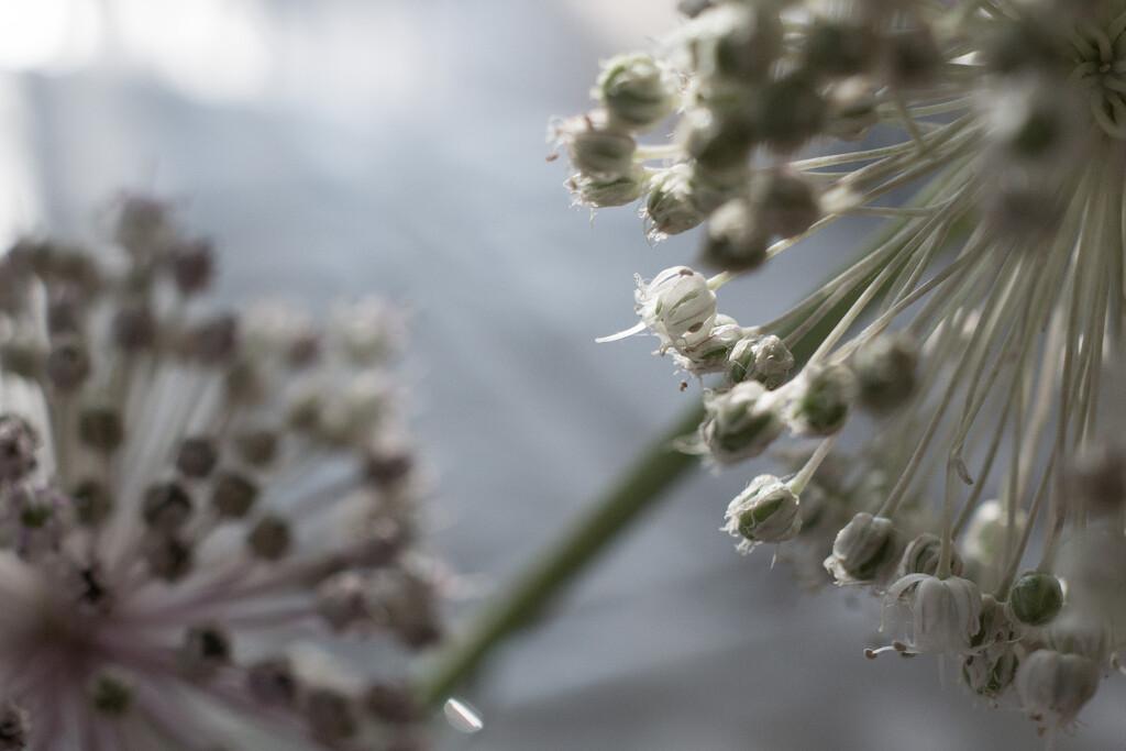Leek seeds by cristinaledesma33