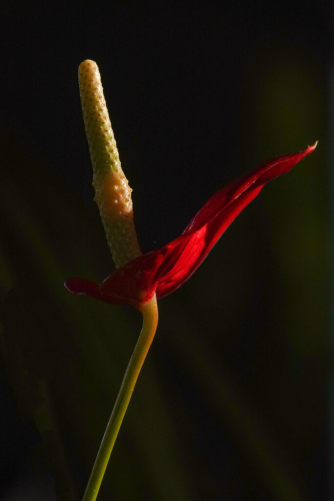 Red anthurium catching the light by maureenpp